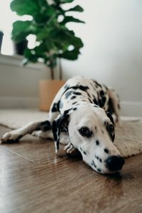 a dog lying on the rug